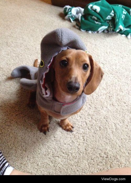 biggiethedachshund:  Happy Hallo-weenie :)