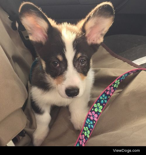 Louie, 11 week old Pembroke Welsh Corgi, and full brother to…