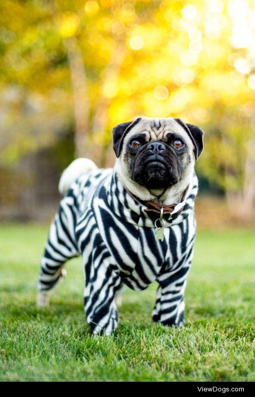 Lauren Pretorius|Zebra Pug