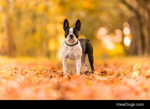 Cecilia Zuccherato|Lovely Boston Terrier