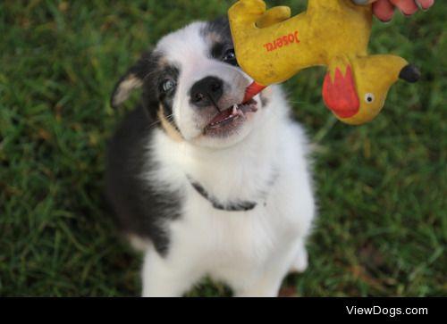 hi! this is my 7 weeks old border collie puppy Mavie!