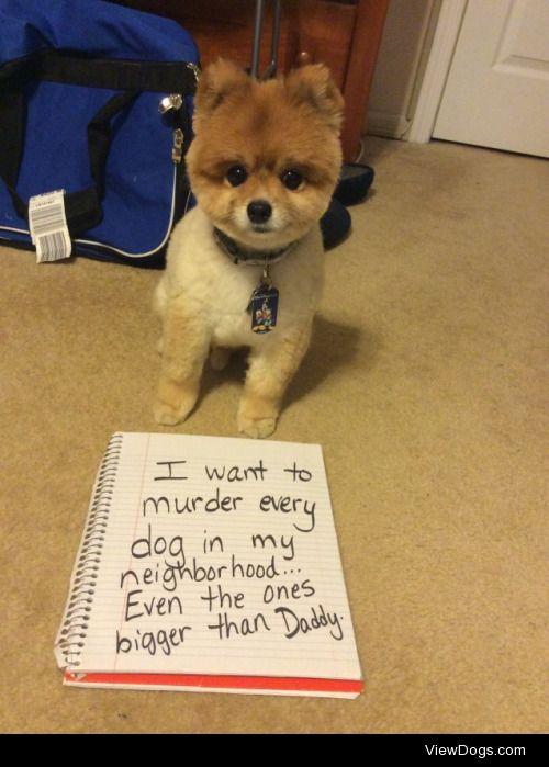 Psycho Pomeranian  I want to murder every dog in my…