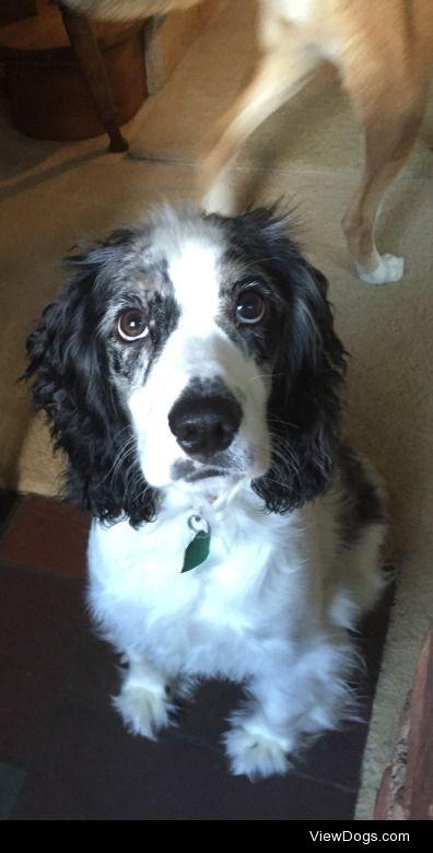 My handsome Cocker Spaniel Parker! – @nicoleranaldii