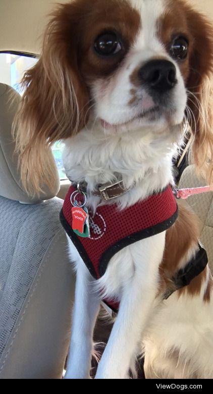 My sweet Cavie, Charlie!