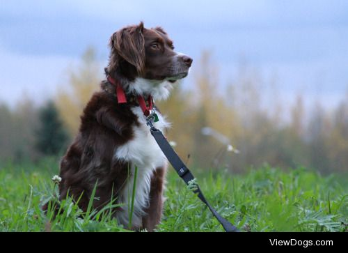 This is Blaze! We think he is a Springer Spaniel-Border Collie…