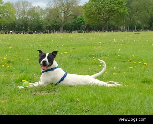 This is Buster. He's a Staffordshire Bull Terrier X…