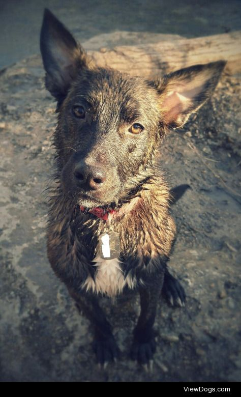 Hildi, my Dutch shepherd is going to be 1 in 2 weeks but she…