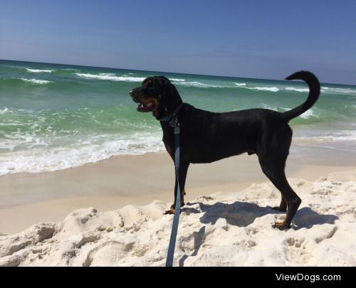 Ezekiel the 3 year old Black and Tan coonhound goes to the…