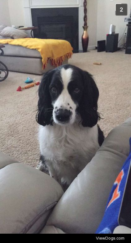 My English springer spaniel Molly gives you this look when she…