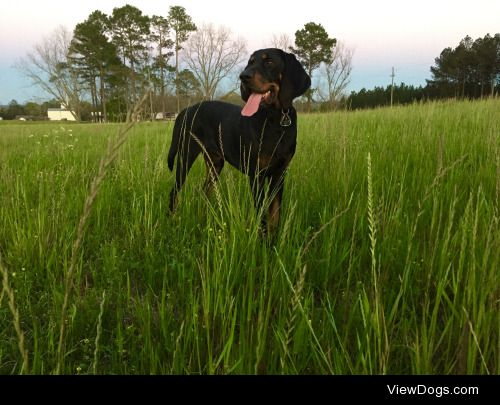 Ezekiel the black and tan coonhound at dus