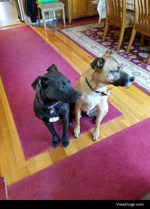 My 8 month old lab/pit mix, Leila (left), and 3 year old mutt,…