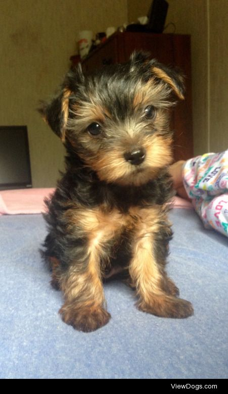 this is Jack, he's a cute little yorkie mix :)