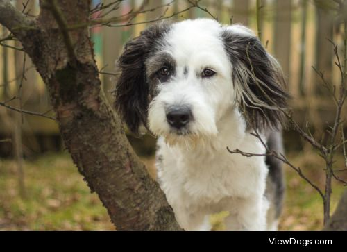 This is Lotta, a one year old border collie/old english sheepdog…