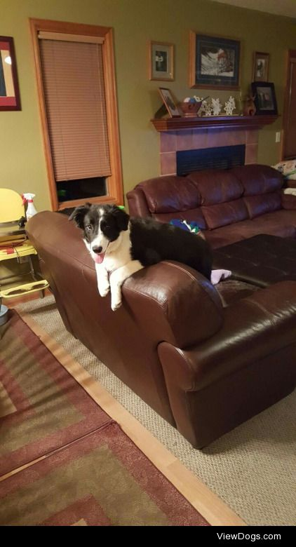This is Lizard, my small border collie pup with something to…