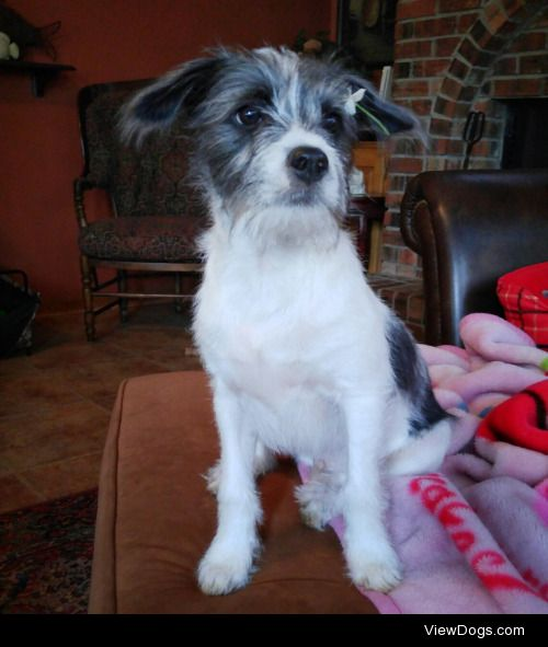 Brussel Sprout the Jack Rusell mix is 5 months old and amazingly…
