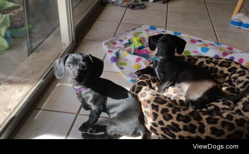 My babies! Brock and Logan, 4 month old dachshund mix brothers,…