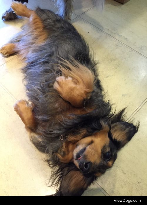 The fluffiest of my babies, Otto, a long haired mini dachshund….