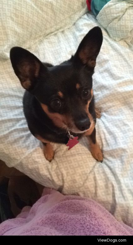 Stanley; min pin/chihuahua; 6-7 years old.