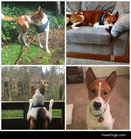 Our boy Champion! We adopted him from a rescue less than 3 weeks…