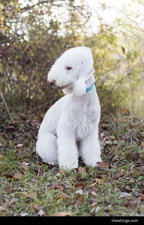 Monika Gajos|Bedlington terrier III