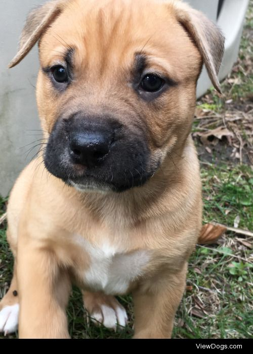 This is Sloan! He's a boxer mix!