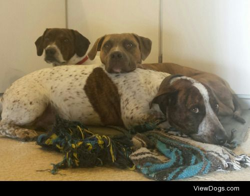 The white ones are Pitbull/weiner dog brothers Sirius and Cyon…