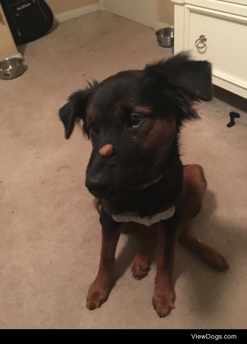 Perceus, the German Shepherd/Rottweiler mix (who really just…