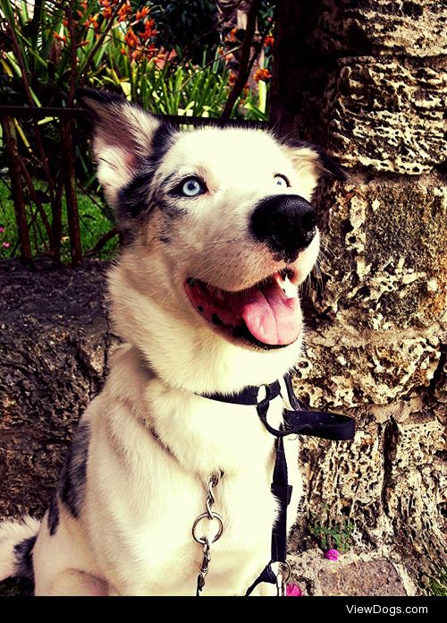 Mishka- 4 year old Husky/ Australian Shepherd mix