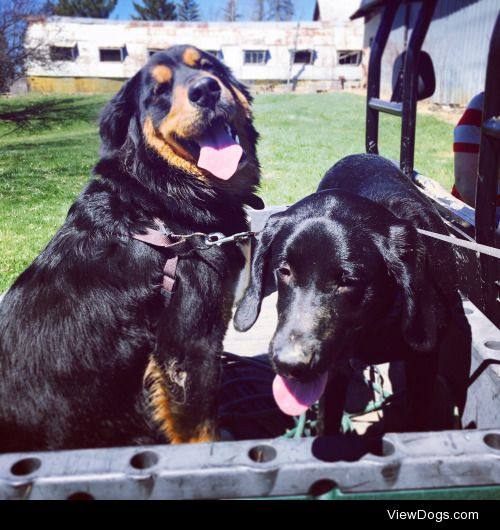 Claymore (on the left, Bernese Mountain Dog/Great Pyrenees mix),…