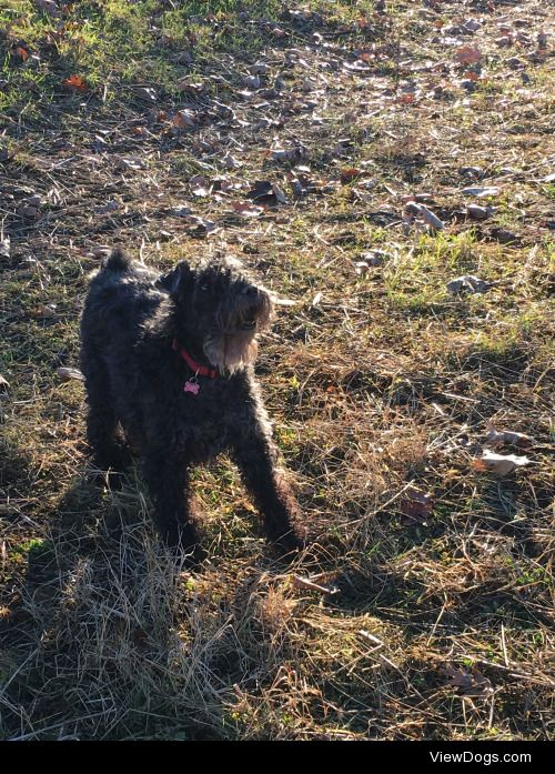 Betty Kerry blue terrier and Otello cane Corso