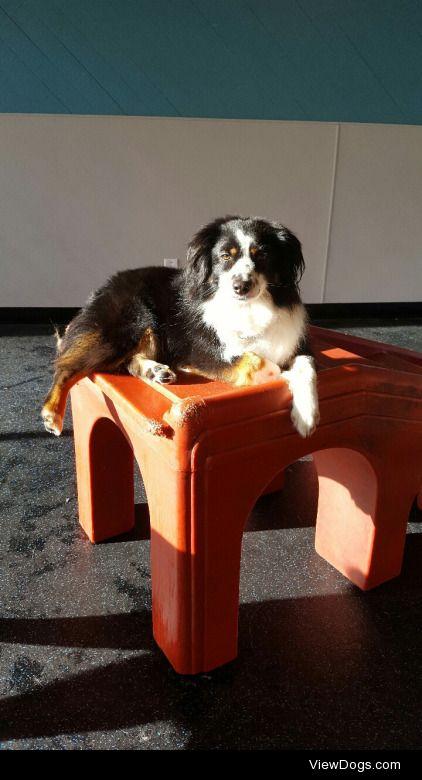 This is Doppler, my 3 year old Mini Australian Shepherd. He is a…