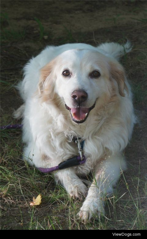 This is Henry, my mom's dog, He is a golden retriever mix, with…