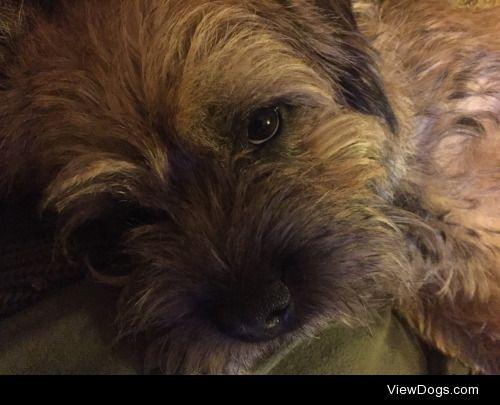 Otis the Border Terrier