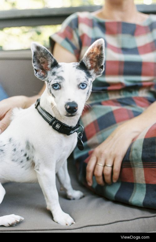 Mint Images|A man and a small dog with large ears seated on a…