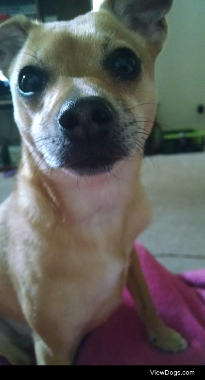 This is Cheerio, my sister's chihuahua/terrier mix. Cheeri was…