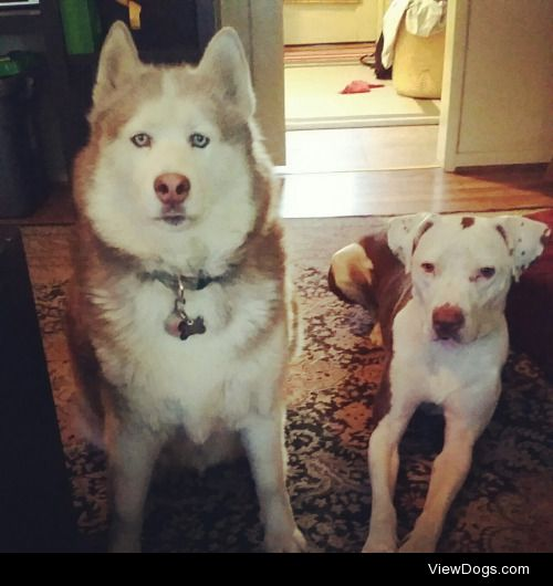 Buffy my husky and Mayor my mutt waiting for me to drop my…