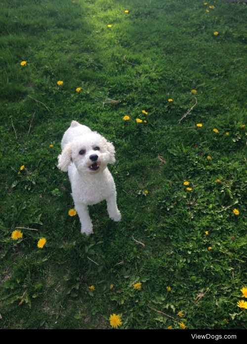 This my bichon poodle, Mollie, and she's got a lot to say for…