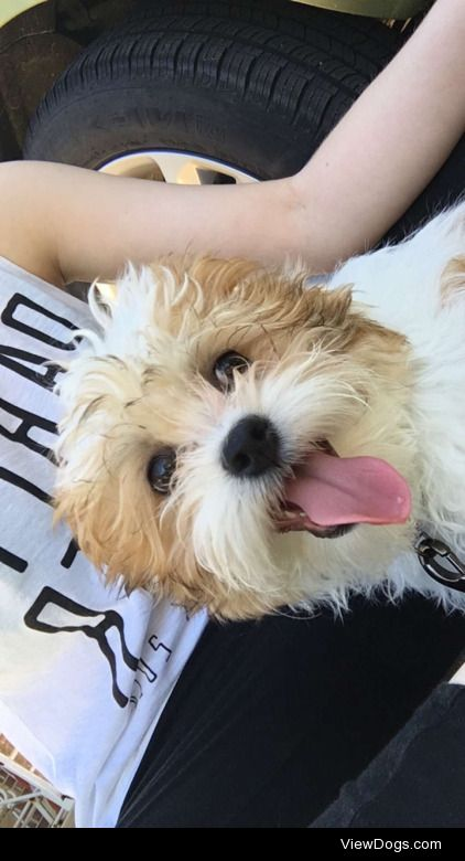 This is Gatsby. He's a 5 month old Shichon puppy. He loves…