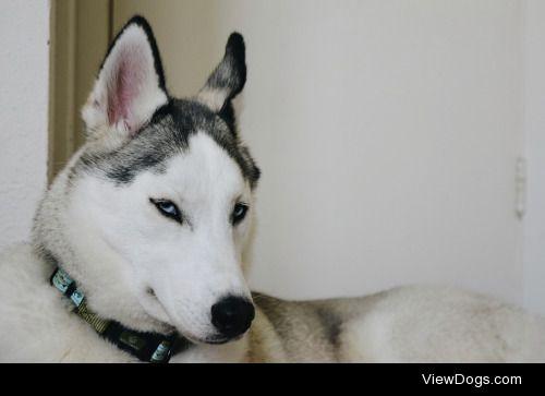 classic husky glare – ig: smol_cc