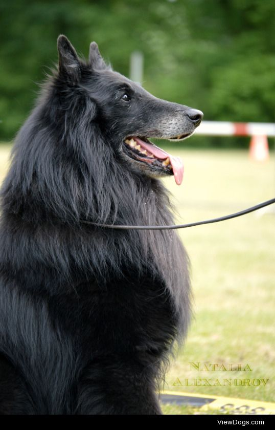 dogsaremypatronus:  Handsome Groenendael male at the NVBH Club Show in The Netherlands.