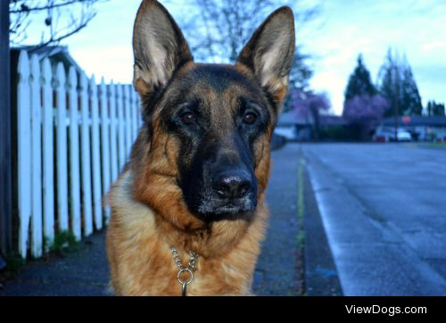 This is Monty, a three year old German shepherd bred at RODAK…