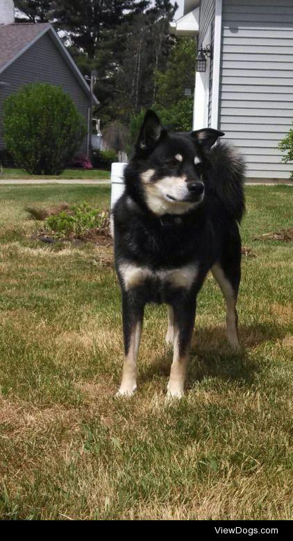 look at him!!! Raz, 11, German Shepherd\Eskimo Spitz mix