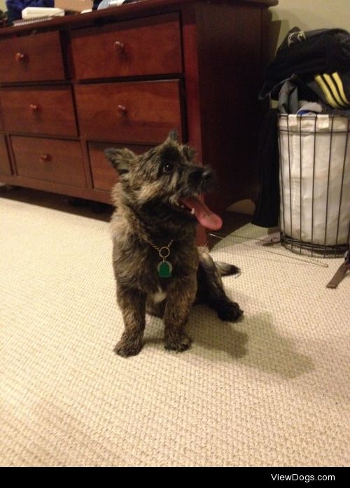 Im puppy sitting this handsome boy for a while! He is a Cairn…