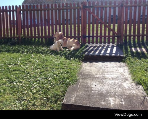 These aren't my dogs (though mine is a giant cutie too!) but my…
