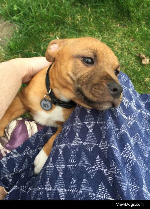 meet emmett! he's a staffordshire terrier my father and…