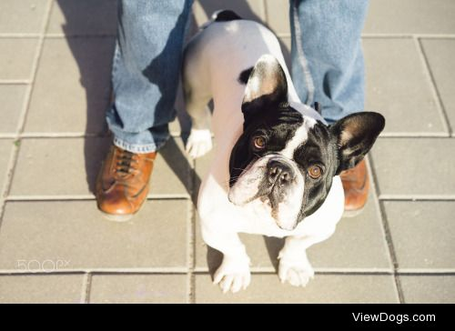 Francisco Martin Gonzalez|Black and white bulldog looking at…