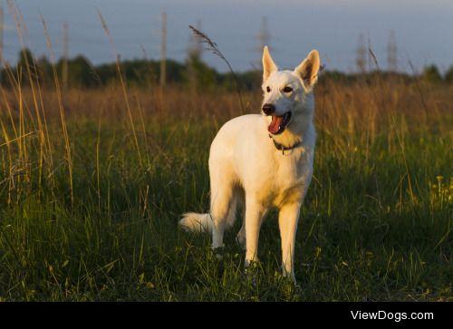 Oleghz Hz|White Swiss Shepherd