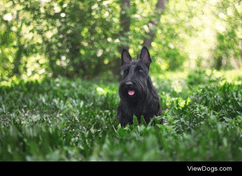 Margarita Shalak|Scottish terrier