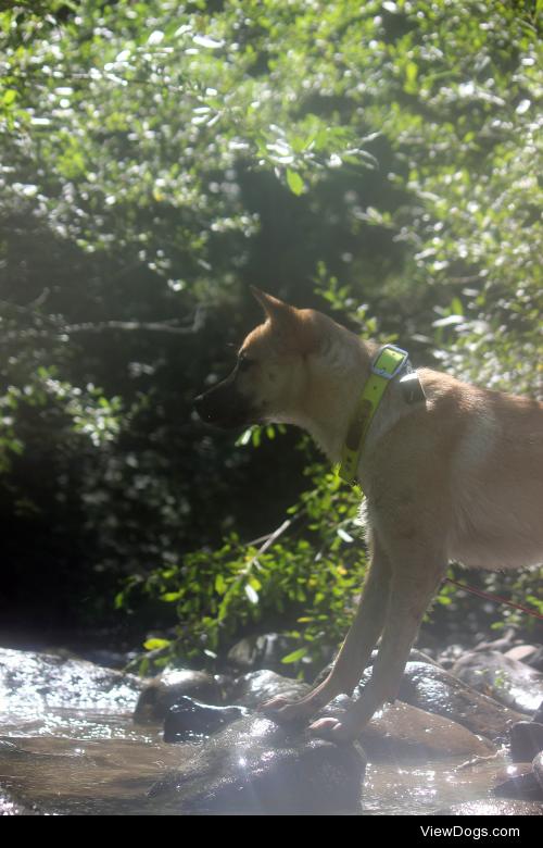 5.5 month old Kishu Ken,Cúchulainn, camping in the Willamette…