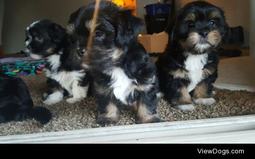 My Shih Tzu mix 3month old pups so adorable.